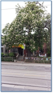 Horse Chestnut planted by George Leslie, one of the survivors of rows of trees that lined both sides of Queen St E in Leslieville. This one is at Queen and Caroline.