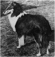 Ch Alstead Aeroplane www.chelsea-collies.com/alstead.html accessed Feb. 26, 2016