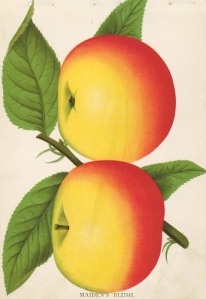 Maiden's Blush apple