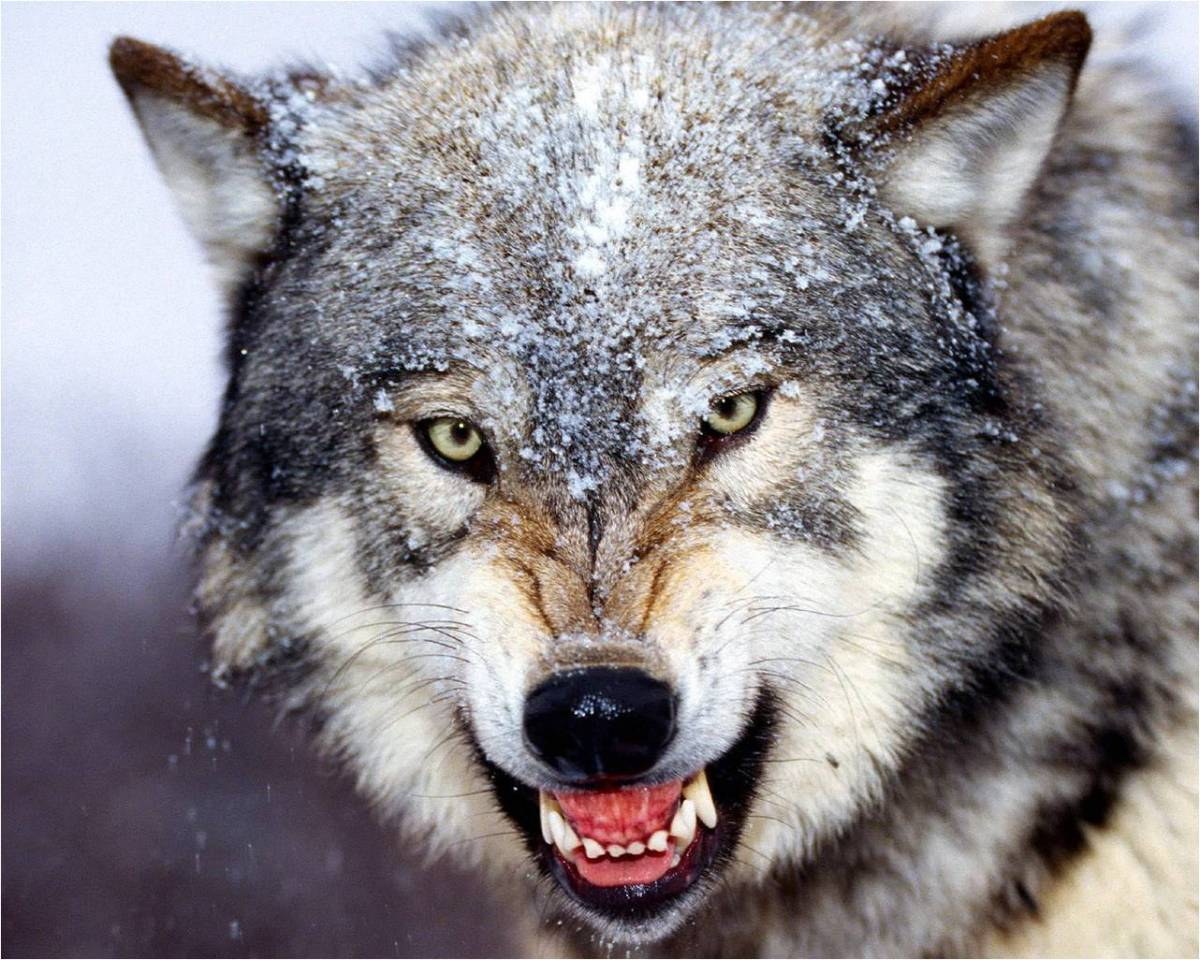 38-the-wolf-at-the-door