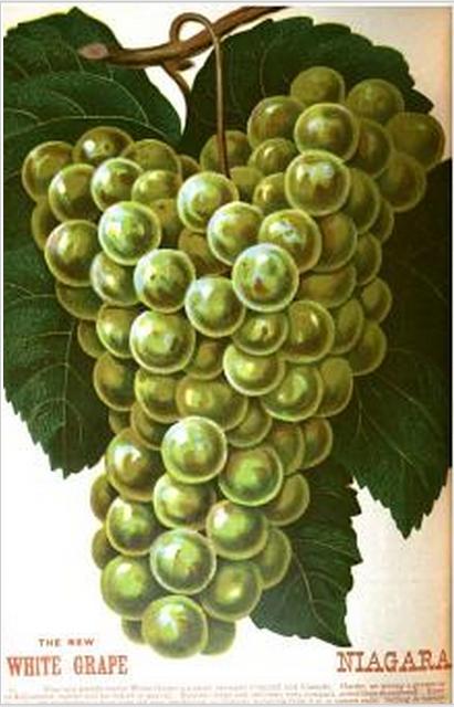 Grapes Niagara 1884