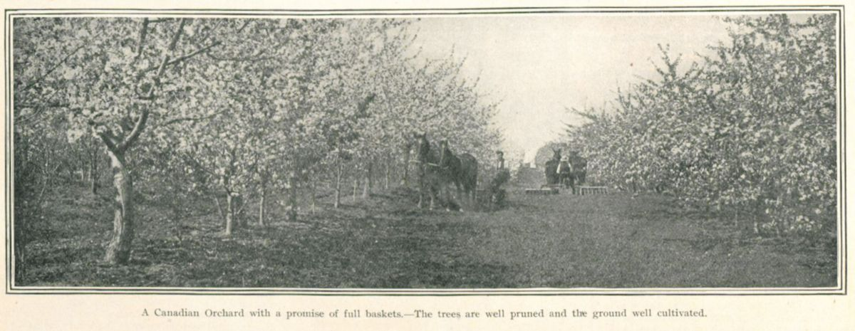 The Canadian Courier, Vol. IV, No. 19 (Oct 10, 1908) Orchard