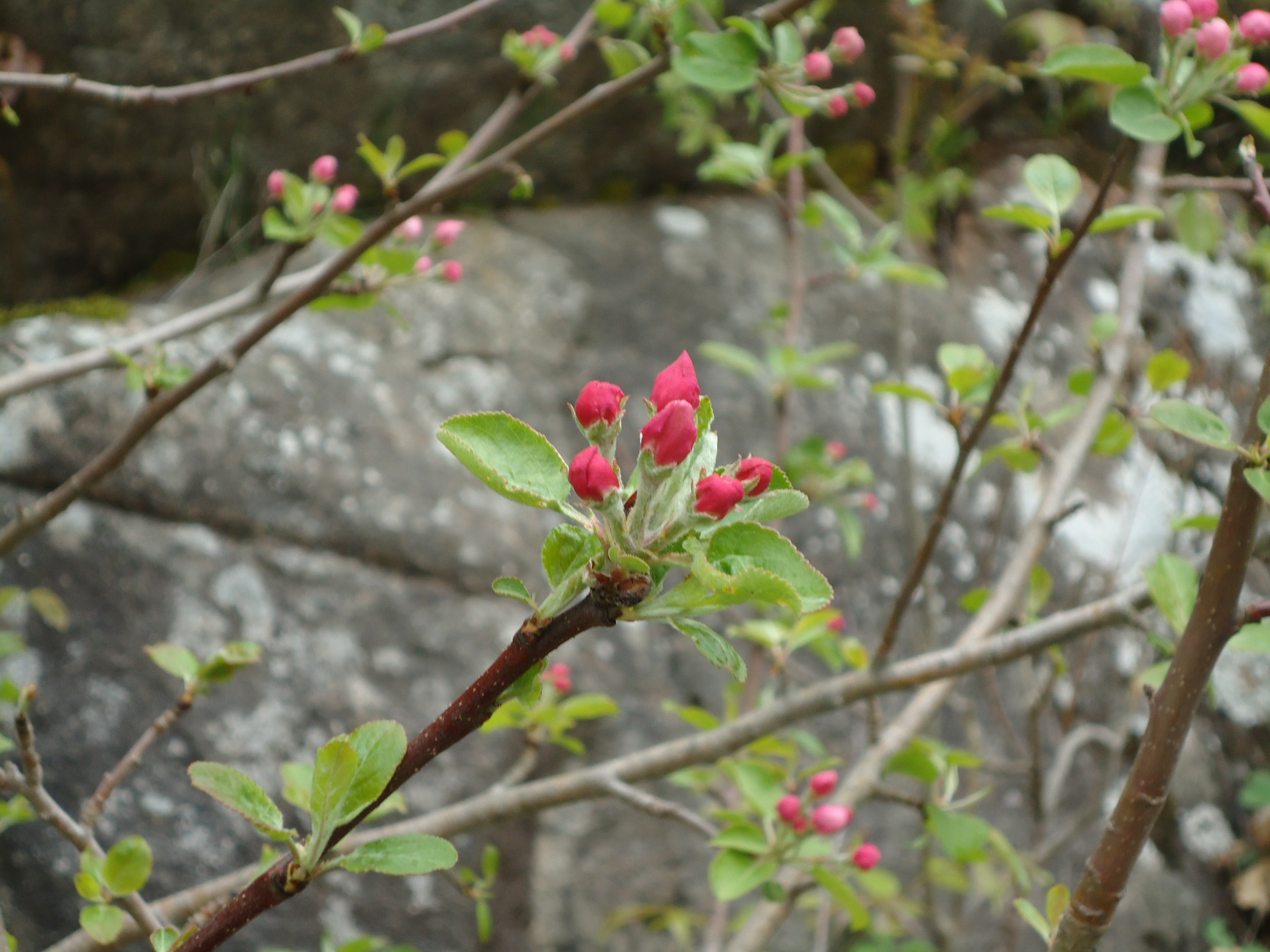 Apple blossoms 5 16 2015 Spring Rapids Rd