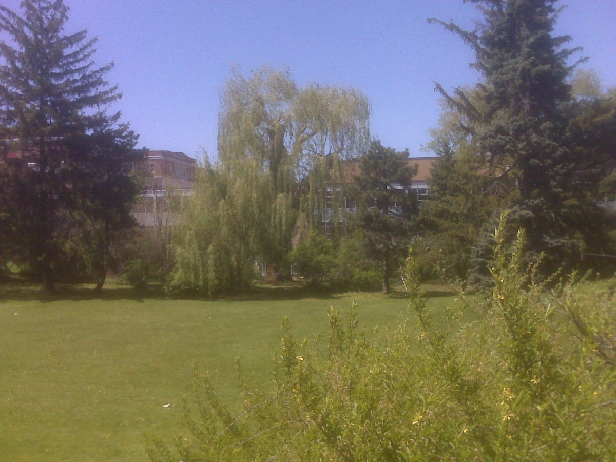 Ashbridge willow - Copy