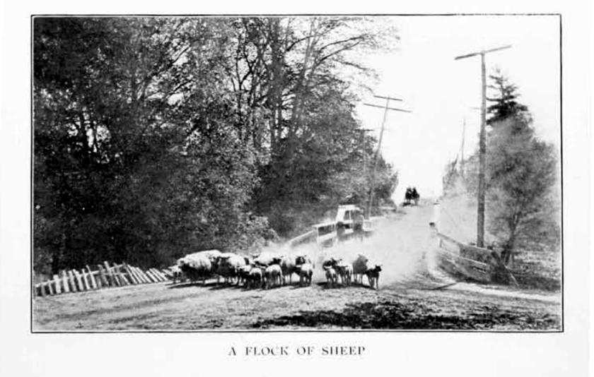 Toronto 1890s sheep unknown loc