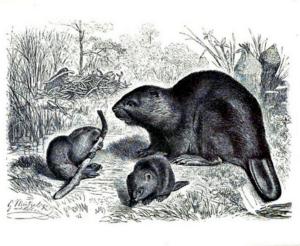 Beaver family scene