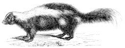 Skunk (2)