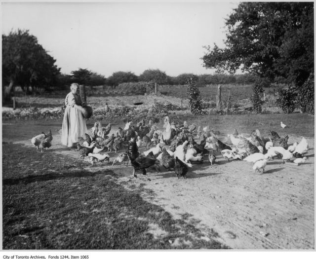 Woman feeding chickens, Oakville. - [1904?]