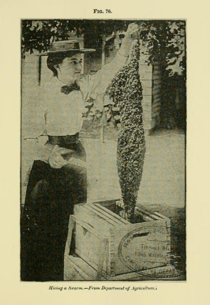 A J Cook, The Bee-Keeper's Guide or Manual of the Apiary 1902 hiving a swarm