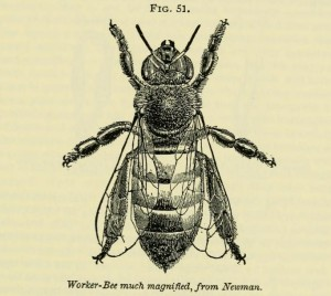 A J Cook, The Bee-Keeper's Guide or Manual of the Apiary 1902 worker bee